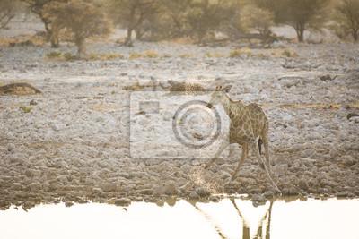 Giraffe bei Okaukuejo Wasserloch.