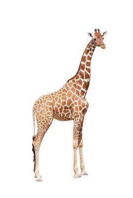 Poster Giraffe bis zum Äußersten. Es ist auf dem weißen isoliert