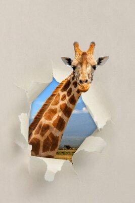 Poster Giraffe Blick durch ein Loch zerrissen das Papier