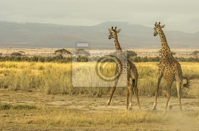 Giraffe che corrono