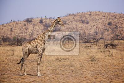 Giraffe, die auf den afrikanischen Ebenen