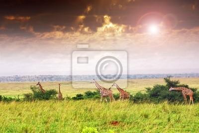 Giraffe Herde