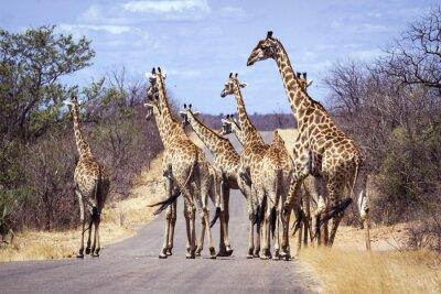 Poster Giraffe im Krüger Nationalpark