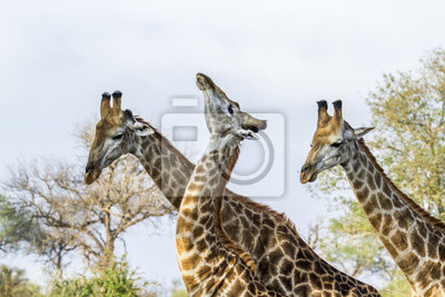 Poster Giraffe im Krüger Nationalpark, Südafrika