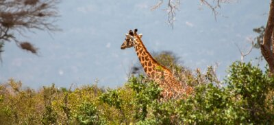 Poster Giraffe im Tsavo Ostnationalpark