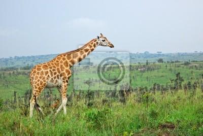 Giraffe in der afrikanischen Savanne, Uganda