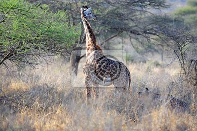 Giraffe in der Wildnis von Afrika