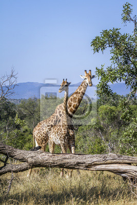 Giraffe in Nationalpark Kruger, Südafrika