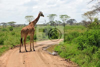 Giraffe in Serengeti, Tansania