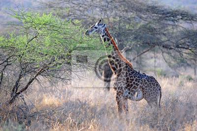 Giraffe in Tsavo National Park in Kenia