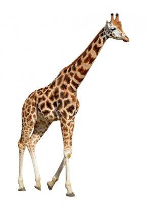 Poster Giraffe isoliert auf weißem Hintergrund