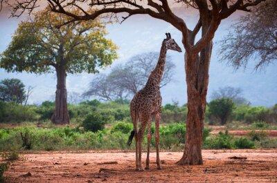 Poster Giraffe mit Baobabbaum