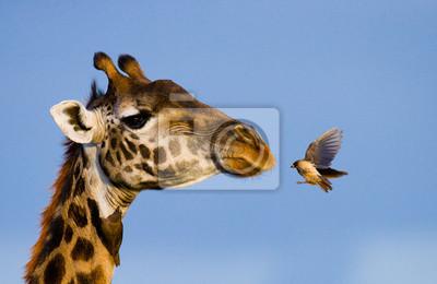 Giraffe mit Vogel. Eine seltene Fotografie. Kenia. Tansania. Ostafrika. Eine ausgezeichnete Illustration.