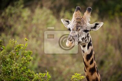 Giraffe Nahaufnahme des Kopfes