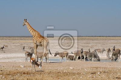Giraffe, Springbock und Zebras
