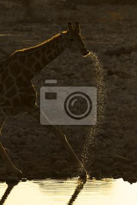 Giraffe trinkt an einem Wasserloch.
