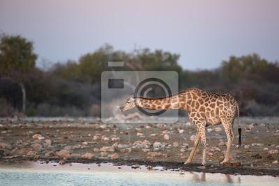 Giraffe trinkt in der Dämmerung