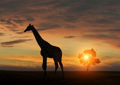 Poster Giraffe während afrikanischen Sonnenuntergang