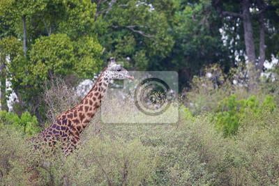 Giraffe zu Fuß durch den Busch