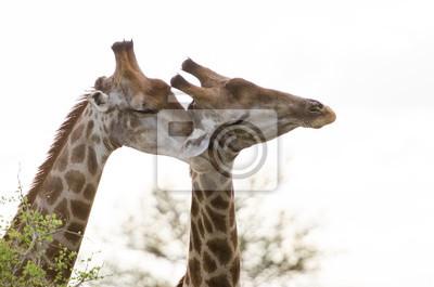 Giraffe Zuneigung
