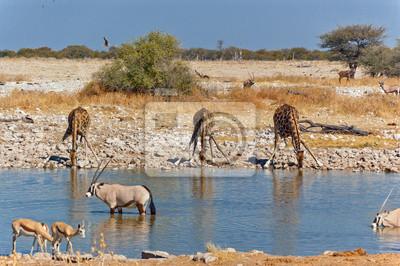 Giraffen am Wasserloch. African Wildlife Reserve, Etosha, Namibia