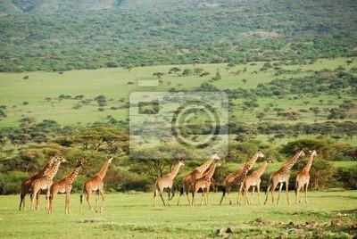 Giraffen-Herde in der Savanne