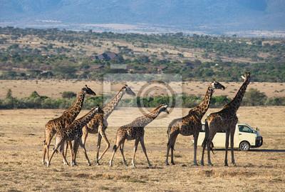Giraffen im Masai-Mara-Nationalpark Kenia