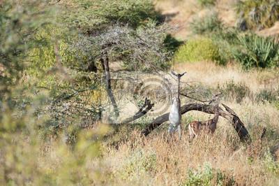 Giraffenantilopen