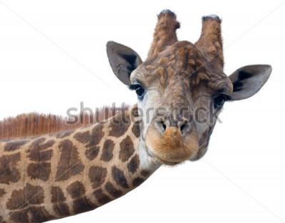 Poster Giraffenkopfgesicht lokalisiert auf weißem Hintergrund