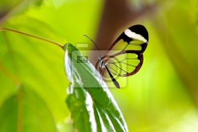 Glasswing Schmetterling