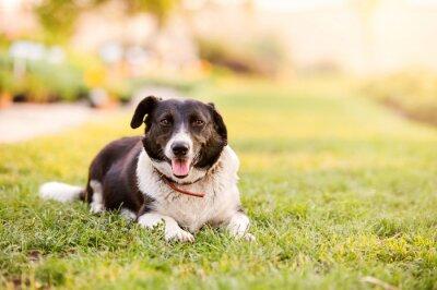 Poster Glücklicher Hund, der im grünen Gras mit den ausgedehnten Tatzen liegt