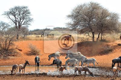 Gnus, Zebras und Tsessebe