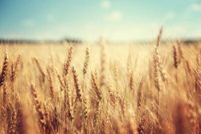 Poster goldenes Weizenfeld und sonnigen Tag