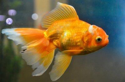 Poster Goldfische, Goldfische unter Wasser