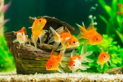 Poster Goldfish im Aquarium mit grünen Pflanzen