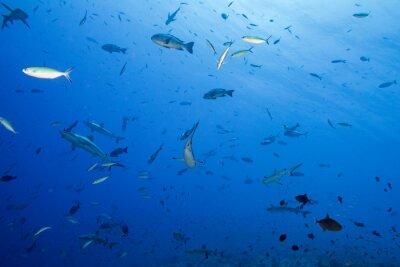 Poster Grauer Hai bereit zum Angriff unter Wasser