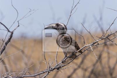 Grauer Hornbill