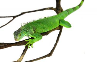 Poster Green Iguana isoliert auf weiß mit Clipping-Pfad