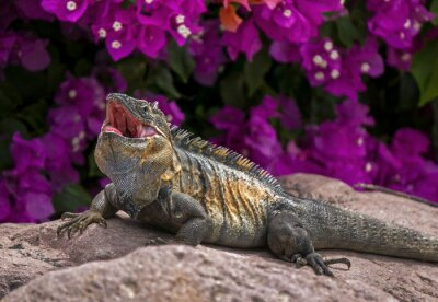 Poster Green Iguana (Leguan Leguan) Sonnenschein auf einem Felsen