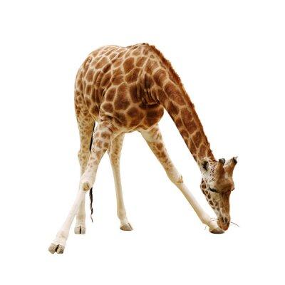 Poster große Giraffe isoliert auf weißem Hintergrund