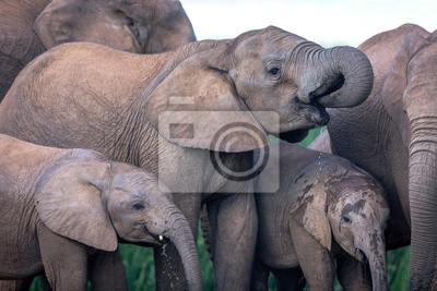 Große Gruppe von Elefanten im Addo Nationalpark, Südafrika.
