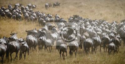 Große Herde von Gnus in der Savanne. Große Migration. Kenia. Tansania. Masai Mara Nationalpark. Eine ausgezeichnete Illustration.