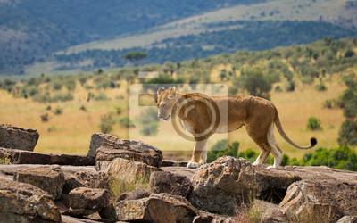 Große Löwen auf afrikanischer Savanne