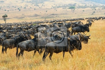 Große Wanderung der Gnus Antilopen, Kenia