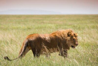 Poster Großer junger Löwe im Serengeti Nationalpark