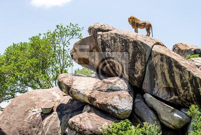 Großer männlicher Löwe auf einem großen Felsen. Serengeti Nationalpark. Tansania. Eine ausgezeichnete Illustration.
