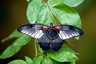 Großer Mormone Schmetterling auf einer Pflanze