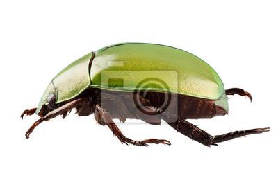 Grün Käferarten Anomala dimidiata