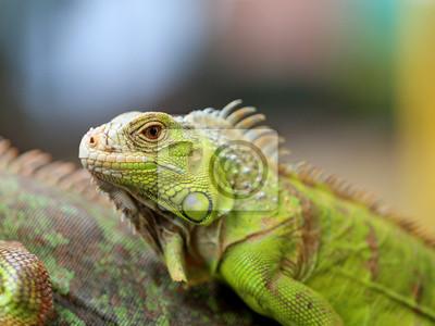 Poster Grüne Eidechsen-Leguan