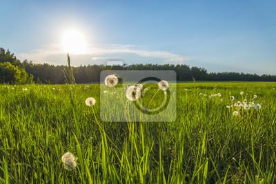 Grünes Gras und Pusteblumen